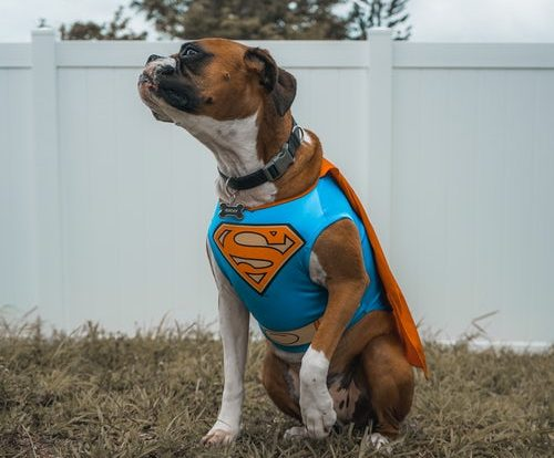 pic of dog wearing superman outfit